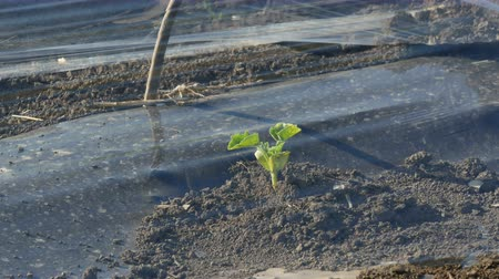 Small watermelon or melon seedling under small protective plastic green house, agriculture in spring