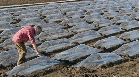 Farmer examining watermelon or melon plants under small protective plastic greenhouses Stock Footage