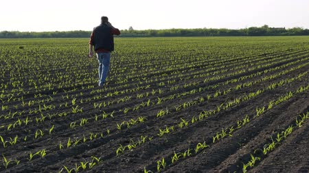 Farmer or agronomist walking and  inspecting quality of corn plants in field and speaking by mobile phone Stock Footage