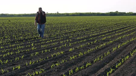 Farmer or agronomist walking and  inspecting quality of corn plants in field and speaking by mobile phone Стоковые видеозаписи