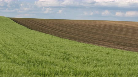 Green wheat field with corn field in background, agriculture in spring