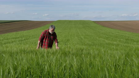 Farmer or agronomist walking and  inspecting quality of wheat plants in field