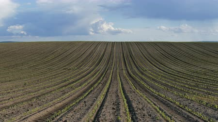 Rows of young green corn plants in field in perspective, agriculture in spring