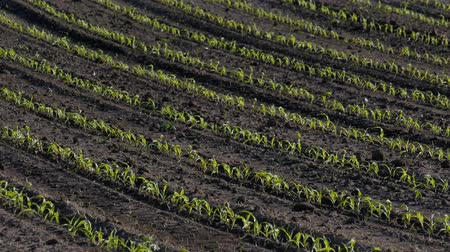 Rows of young green corn plants in field with selective focus, agriculture in spring Стоковые видеозаписи