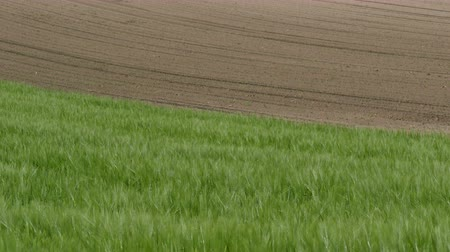 monoculture : Green wheat field with corn field in background, agriculture in spring