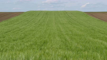 Green wheat plants in field at hilly area, agriculture in spring