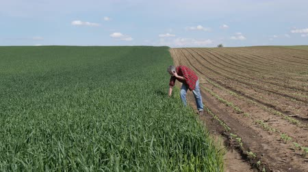 Farmer or agronomist inspecting quality of wheat plants in field and speaking by mobile phone Stock Footage