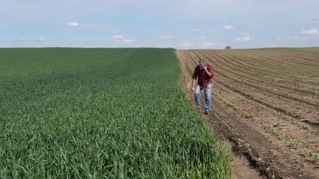 Farmer or agronomist inspecting quality of wheat plants in field ans speaking by mobile phone Стоковые видеозаписи