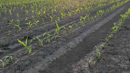 Rows of young green corn plants in field damaged in hail storm, agriculture in s