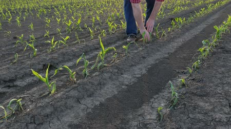 Farmer  inspect young green corn plants in field damaged in hail storm, agriculture in spring Stock Footage
