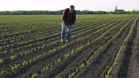 köylü : Farmer or agronomist walking and  inspecting quality of corn plants in field