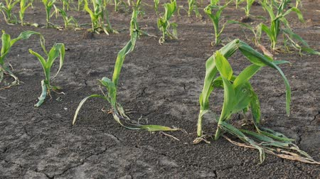Rows of young green corn plants in field damaged in hail storm, zoom in video, agriculture in spring