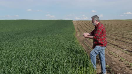 Farmer or agronomist inspecting quality of wheat plants in field and taking photo using mobile phone Стоковые видеозаписи