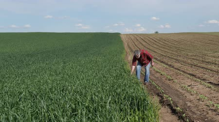 Farmer or agronomist inspecting quality of wheat plants in field and taking photo using mobile phone Stock Footage