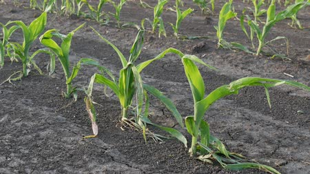 Rows of young green corn plants in field damaged in hail storm zoom out video, agriculture in spring