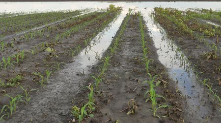 Rows of young green corn plants in field damaged in flood, zoom in video, agriculture in spring Стоковые видеозаписи
