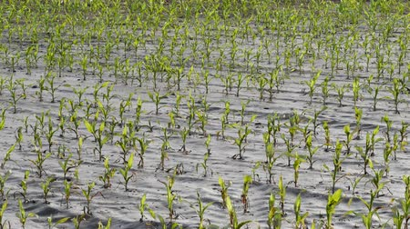 Rows of young green corn plants in mud,  field damaged in flood, agriculture in spring