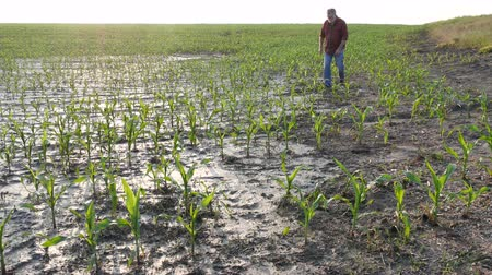 kurutma : Farmer  examining young green corn plants in mud, damaged  field after flood, agriculture in spring
