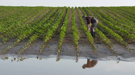 Farmer  inspect young green sun flower plants in mud, damaged  field after flood Stock Footage