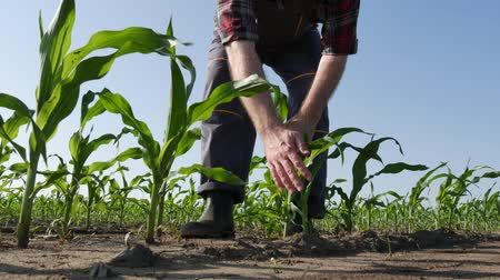 Farmer or agronomist walking and  inspecting quality of corn plants in field