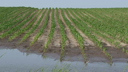 Rows of young green corn plants in mud and water, field damaged in flood Стоковые видеозаписи