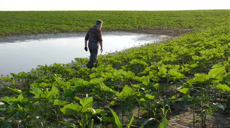 Farmer inspect young green sunflower plants in mud and water, damaged field after flood