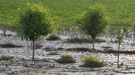 Trees in orchard in mud after  flood with sunflower field in background