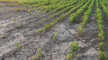 Drought after flood in soy bean field with cracked land