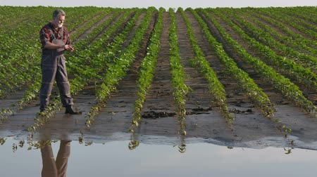 Farmer inspect young green sunflower plants in mud and water and typing to mobile phone, damaged field after flood