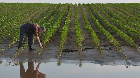 Farmer inspect young green sunflower plants in mud and water anf speaking by phone, damaged field in flood Stock Footage