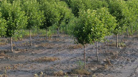 plantio : Trees in orchard in mud after  flood, zoom in 4k footage