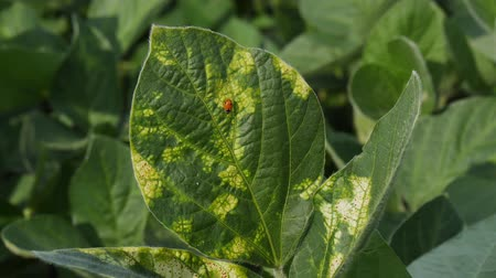 soya : Lady bug walking at soy bean leaf with Septoria fungus disease, closeup 4K video