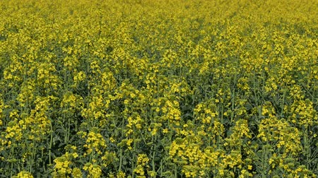 selektif : Dolly, horizontal panning video of blossoming canola, oil rape plants in field, selective focus telephoto horizontal panning 4K footage Stok Video