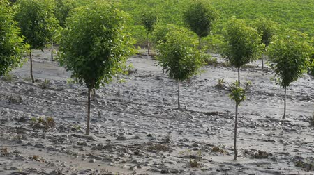 pocsolya : Cherry trees in orchard in mud after  flood with sunflower field in background