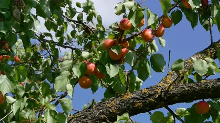 plantação : Zoom in video of apricot fruits at tree branch in orchard with blue sky in background