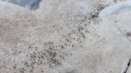 teamwork : black Ants running Stock Footage