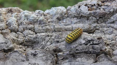 chrysalis : Black and yellow striped caterpillar