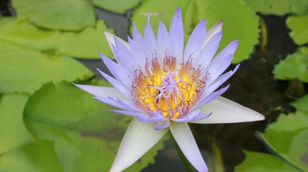 loto : Bee in Lotus Flower