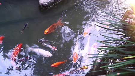 gölcük : Japanese Koi Fish Swimming in a Pond