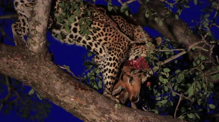 pardus predator : Leopard eating from a kill in the tree.
