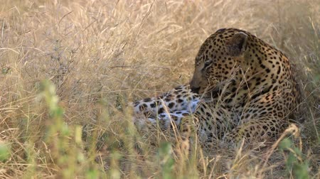 pardus predator : Leopard lying on the grass. Stock Footage