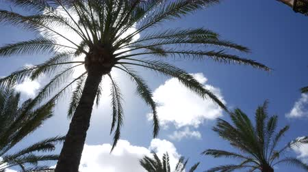 fuerteventura : palm trees with clouds in the background Stock Footage