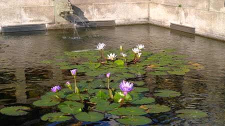 purple veins : Dragon head fountain and lotus flower blooming in Chinese temple