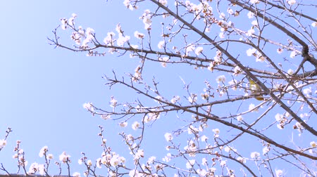 śliwka : 4K Movie - Japanese White-eyed bird and plum blossoms Wideo