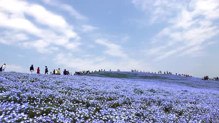 Nemophila flower field (baby blue eyes), blue flowers in the garden Dostupné videozáznamy