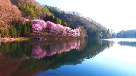 Cherry tree in full bloom is reflected in the lake Dostupné videozáznamy