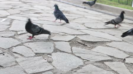 rock dove : Gray pigeons walk on pavement and peck for food in summer park
