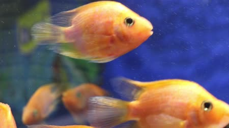 de sangue puro : Tropical Red Blood Parrot Fishes in transparent water of aquarium