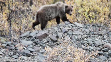 beer : Grizzly in nationaal park Denali Stockvideo