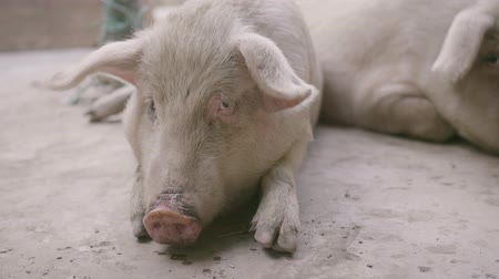 sow : close up of farm raised pig Stock Footage